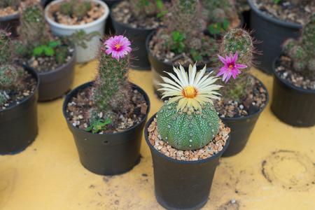 Astrophytum asterias cactus with flower on pot