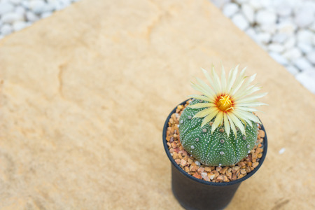 Astrophytum asterias cactus with flower in pot on orange stone floor