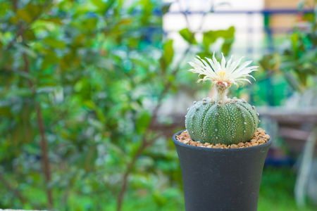 annual ring annual ring: Astrophytum asterias cactus with flower on pot