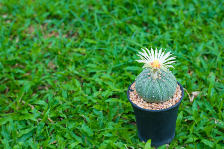 Astrophytum asterias cactus with flower in pot on grass background