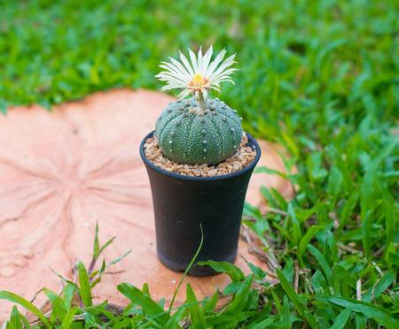cirrus: Astrophytum asterias cactus with flower on pot