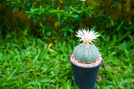 cirrus: Astrophytum asterias cactus with flower in pot on grass background