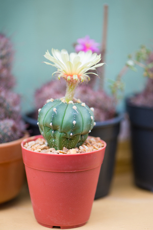 Astrophytum asterias or Sand dollar cactus Stock Photo