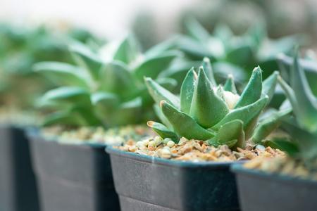 Ariocarpus cactus in flower pot