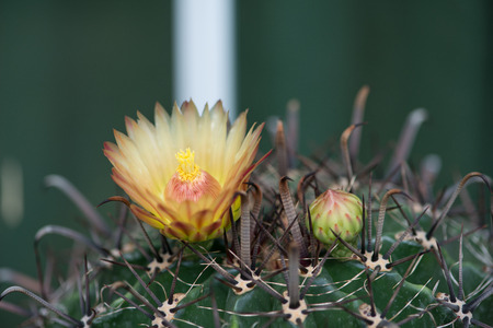 Yellower Flower of Ferocactus