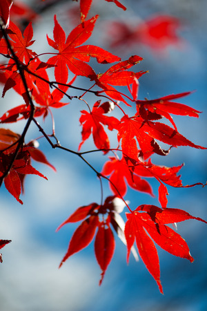 Red maple leaves on tree Standard-Bild