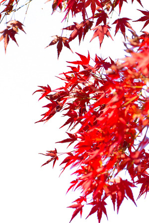 Red maple leaves on white