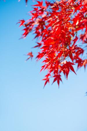 Red maple leaves on blue sky in Japan Banco de Imagens