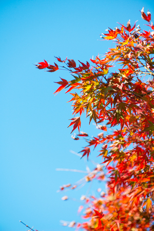 Red maple leaves on tree in autunm season in Japan