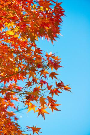 Czerwone liście klonu na drzewie w sezonie jesiennym w Japonii Zdjęcie Seryjne