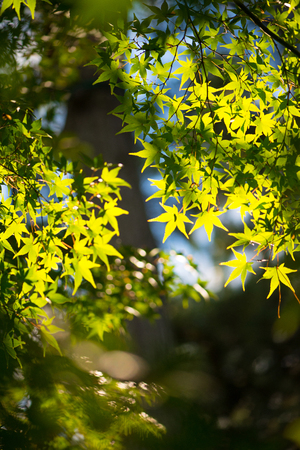 Green maple leaves and sun light