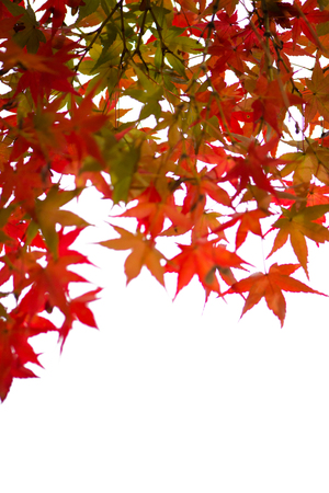 Red maple leaves on white background 写真素材