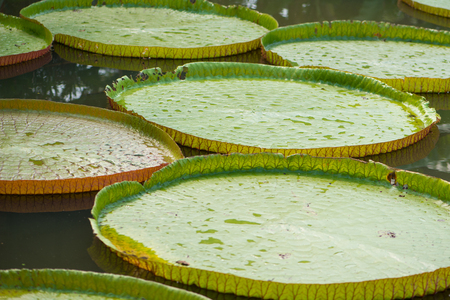 Giant leaves of the Victoria waterlily in pool