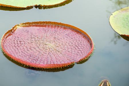 Young leaves of Victoria waterlily