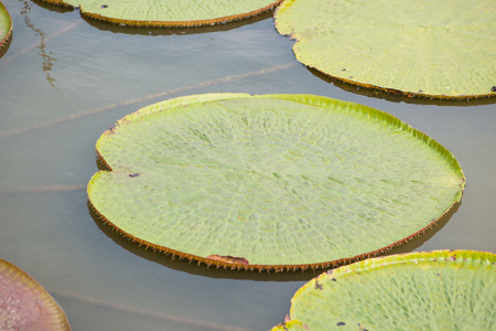 Victoria waterlily leaves in pool
