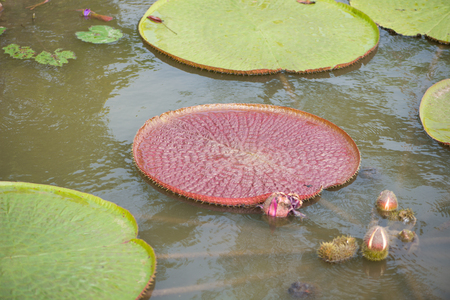 Victoria waterlily leaves and flower in pool