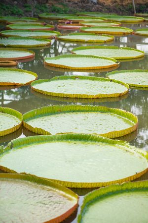 Giant leaves of Victoria waterlily
