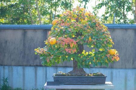 Chinese Quince bonsai tree in Omiya bonsai village at Saitama, Japan