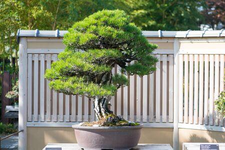 Japanese Black pine bonsai tree in Omiya bonsai village at Saitama, Japan