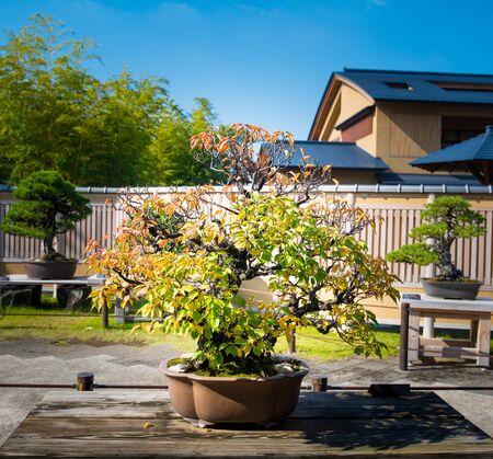 Japanese Apricot bonsai tree in Omiya bonsai village at Saitama, Japan