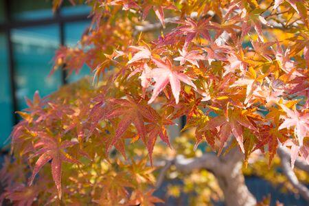 Japanese maple  bonsai leaves in autumn season at Omiya bonsai village  Saitama, Japan