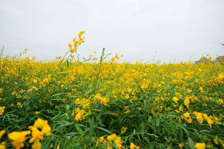 Field of Crotalaria Juncea or sunn hemp in Phutthamonthon,Nakhorn prathom