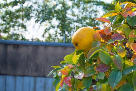 Chinese Quince fruit on bonsai tree in Omiya bonsai village at Saitama, Japan