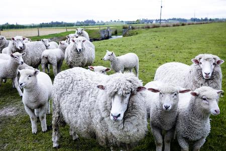 newzealand: Sheep crowd in New Zealand farm