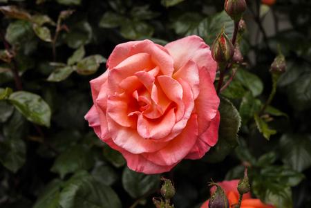 a lonely pink rose at New Zealand Reklamní fotografie