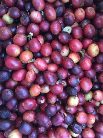 Fresh Coffee Cherry Reklamní fotografie