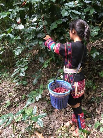 industry: Harvesting coffee