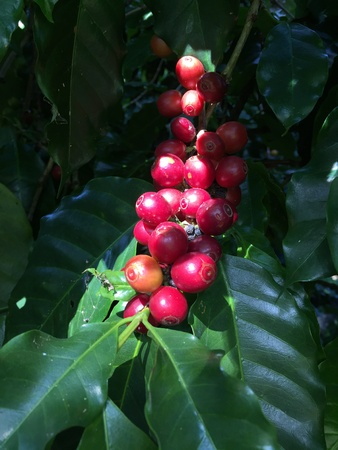 Coffee tree with red cherries , coffee business Reklamní fotografie