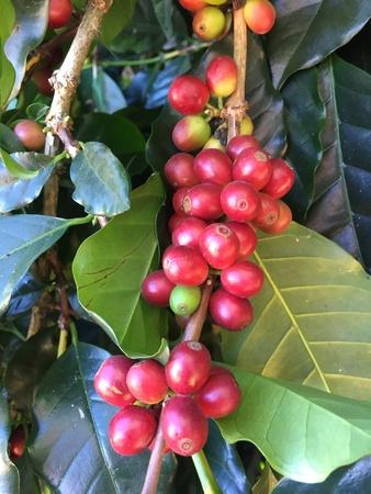 arbol de cafe: cafeto con cerezas rojas, negocio del café