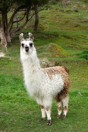 Alpaca farm at roadside in new zealand Reklamní fotografie