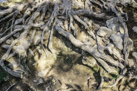 Old Tree roots in the water of  Krka National Park, Croatia Stockfoto