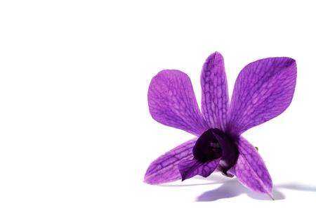 purple orchid: purple orchid