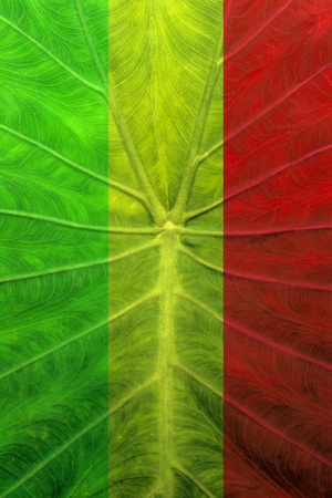 rasta colors: background of a leaves coloration