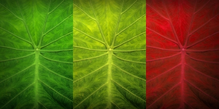 rasta colors: green yellow and red leaves Stock Photo