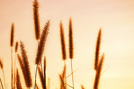 close up of grass flowers, sunset Stock Photo