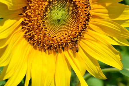close up of sun flower