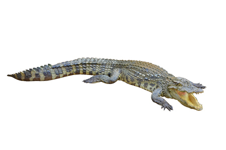 white nile: crocodile with a open mouth Stock Photo