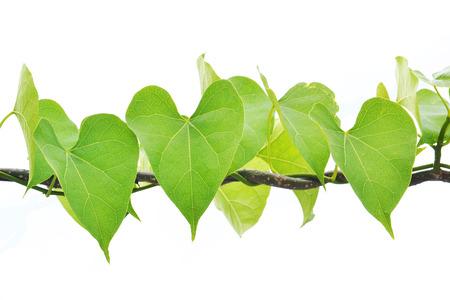 heart leaf shaped on white background Stock Photo