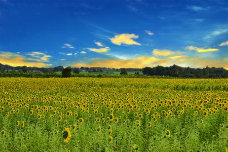 sun flower field with blue sky