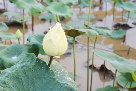close up of sacred lotus in the pond