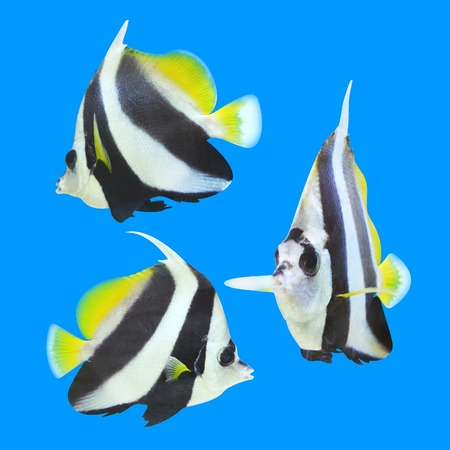 longfin bannerfish isolated on blue background