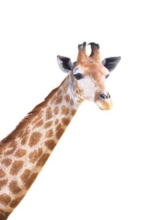 Linda jirafa aislado sobre fondo blanco.