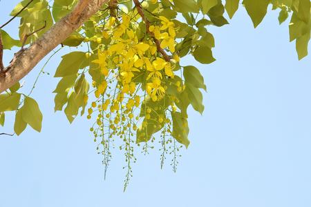 cassia fistula flower on tree (Golden Shower Tree)