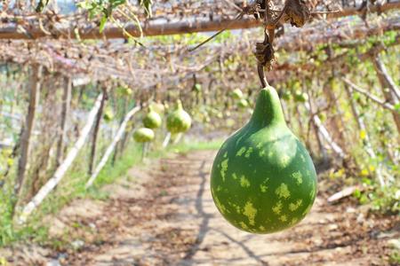 close up of bottle gourd or calabash gourd