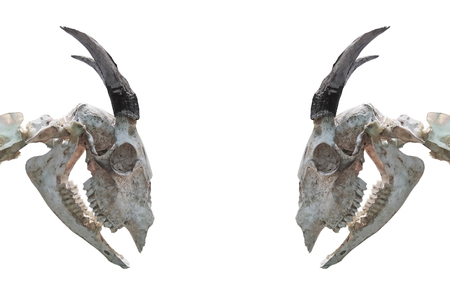 close up of decay chamois skull Stock Photo