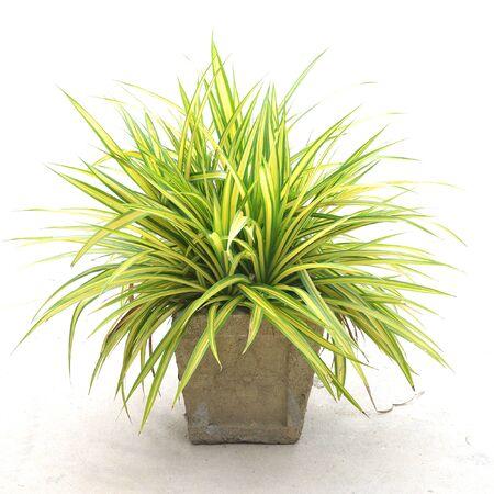 Chlorophytum comosum (Spinnenpflanze) auf weißem Hintergrund
